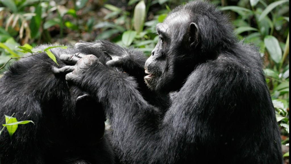 Шимпанзе успокаивают друг друга после конфликта