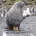 Морские выдры, или каланы –  милые и дружелюбные млекопитающие, за которыми очень интересно наблюдать, как они трут свои мордочки, плавают на спине, играются с камушком или разбивают им ракушки, веселятся и кувыркаются, трогательно держат друг дружку за лапки...