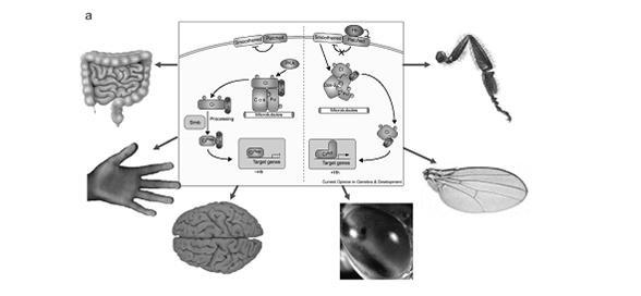 Рисунок 4. Примеры трех генных сетей, гены которых формируют консервативные паттерны коэкспрессии у разных таксонов – регулоги: а – генная сеть Hh-каскада (по: Nybakken, Perrimon, 2002); б – генная сеть циркадного ритма (по: Badiu, 2003); в – генная сеть морфогенеза цветка (по: Honma, Goto, 2001; Theissen, Saedler, 2001).
