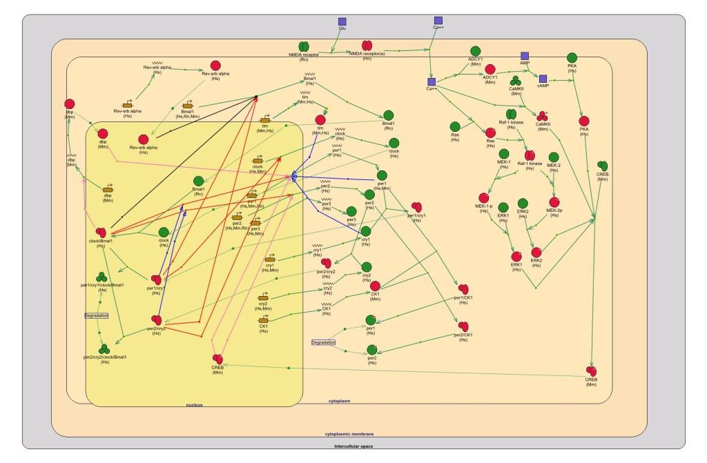 Генная сеть регуляции суточного ритма у млекопитающих