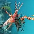 Рыбы-крылатки из семейства скорпеновых практикуют любопытный способ охоты. Во время ночных погружений Уна Лённштедт из Университета Джеймса Кука (Австралия) часто наблюдала, как крылатки в группах от двух до четырех особей окружали стайки более мелких рыб и ...