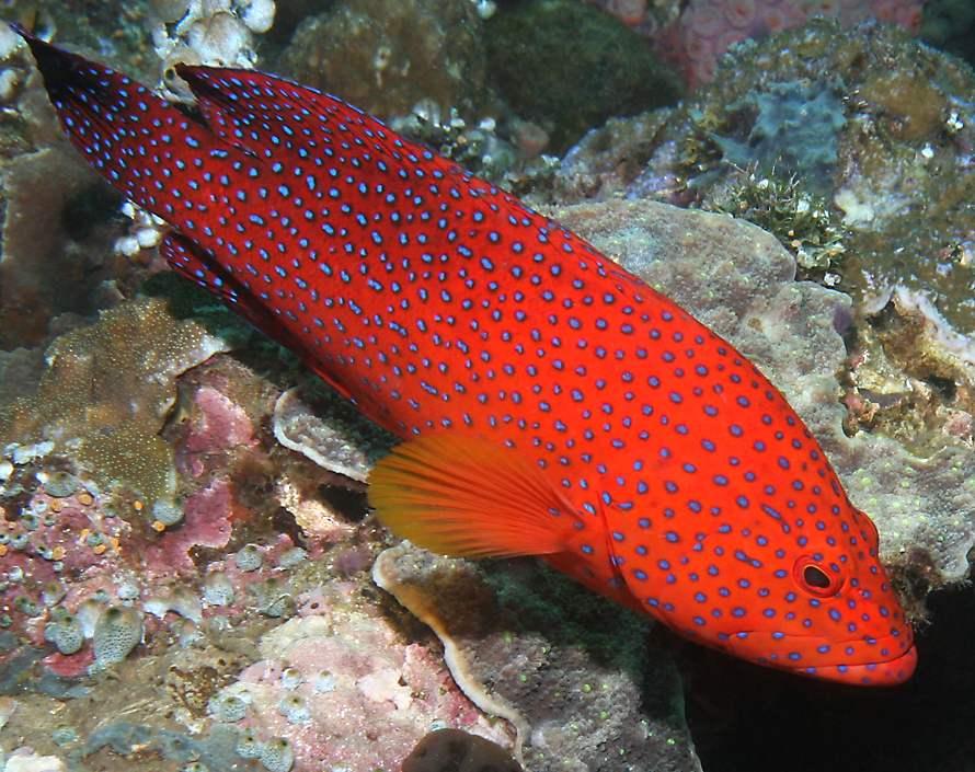 Коралловая форель