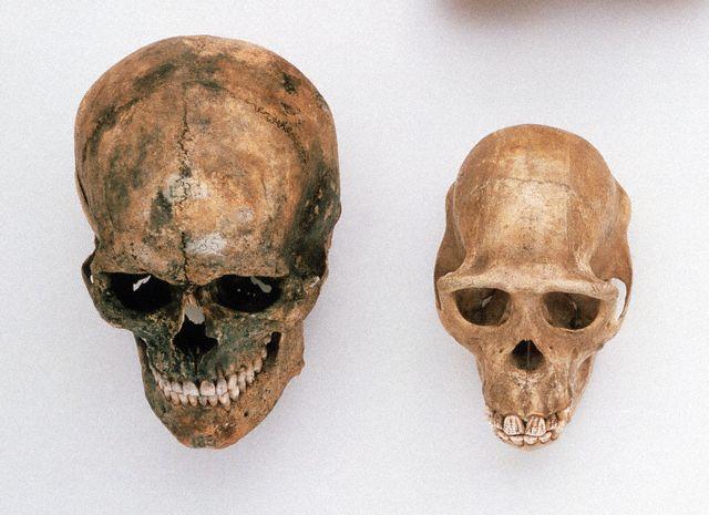 Череп человека и череп шимпанзе. (Фото Colin Keates / Dorling Kindersley Ltd. / Corbis.)