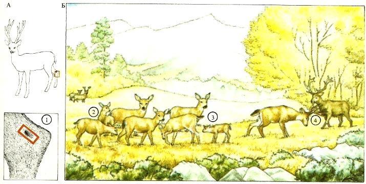 На лодыжках чернохвостых оленей (Odocoileus hemionus) (А) имеются пахучие железы (1), служащие им для взаимного опознания. С этой целью члены стада (Б) обнюхивают друг друга (2). Оленята тоже узнают свою мать по запаху (3). Незнакомый запах сразу выдает присутствие вожака (4). (По Бинни, 1977.). Там же.