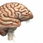 Человеческий мозг меняется сильнее, чем обезьяний