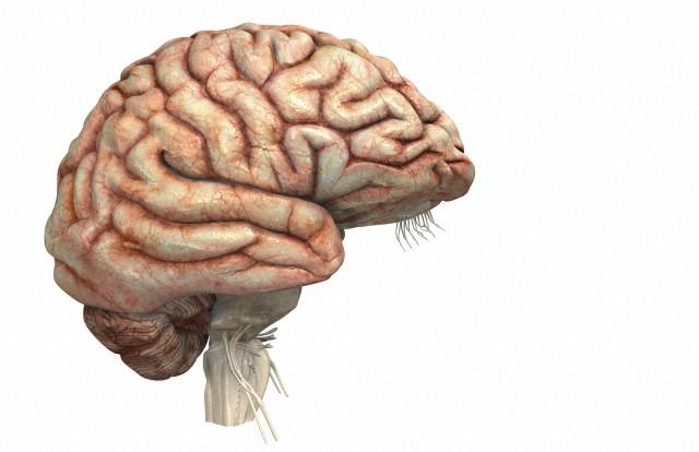Рисунок извилин на коре человеческого мозга отличается большей индивидуальностью, чем у шимпанзе. (Фото 3d4Medical.com / Corbis.)