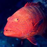 «Жестикуляция» при совместной охоте коралловых рыб