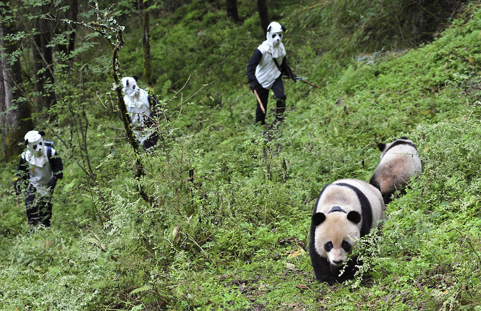 итай, заповедник Волон. Исследователи ловят панду с детенышем, выросших на территории заповедника. Тяотяо и Чаочао предстоит медицинское обследование и подготовка к реинтродукции в дикую природу. Ловцы одеты в костюмы панд, чтобы животные не привыкали к человеческому облику. China Daily / REUTERS / Vostock Photo