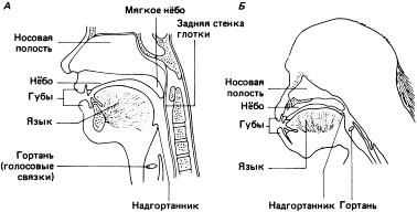 Схематическое изображение (сагиттальное сечение) головы и шеи А – взрослый человек; Б – взрослый шимпанзе. Строение гортани шимпанзе и ее расположение в верхней части голосового пути не позволяет им, в отличие от человека, с помощью языка менять конфигурацию глотки и осуществлять модуляцию звуков (по Lieberman 1968, с изменениями). Источник