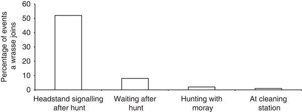 Привлекательность груперов для присоединения губана. Показан % случаев появление губана в течении первых 5 мин. Рядом с: групером, делающим «стойку на голове», ожидающим без «стоек» после неудачной охоты, просто групера вместе с муреной, на ровном месте (слева направо).