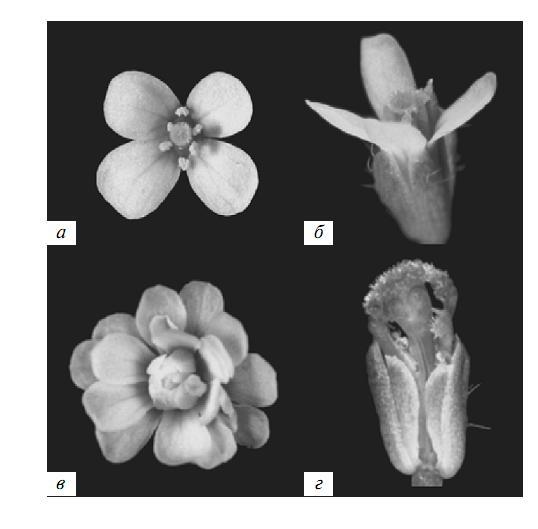 Рис. 1. Гомеозисные мутации A. thaliana [65]. а – норма (вид сверху), б – норма (вид сбоку), в – мутация гена AGAMOUS, г – мутация гена PISTILLATA