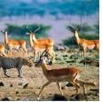 Почему то или иное животное становится добычей хищника? Опыт наблюдений показывает, что в природных условиях довольно трудно оценить причины, по которым та или иная особь оказывается жертвой. Нападающие не могут поймать любое животное, подходящее им по...
