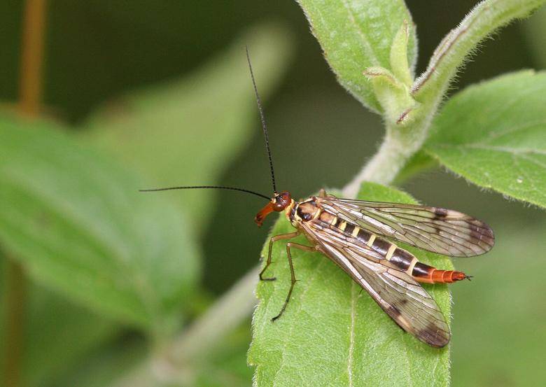 Самка скорпионницы Panorpa cognata