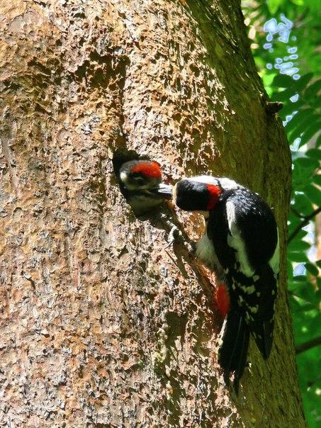 Самец большого пёстрого дятла кормит птенца. Фото В.В.Солодушкина