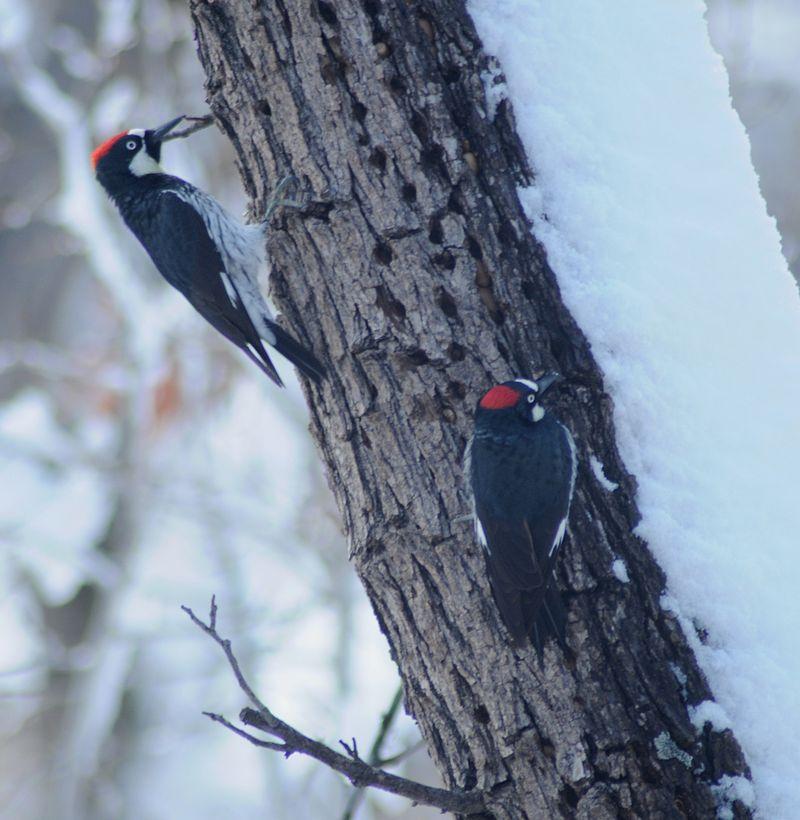 Моногамная пара; Oak Creek Каньон, Аризона