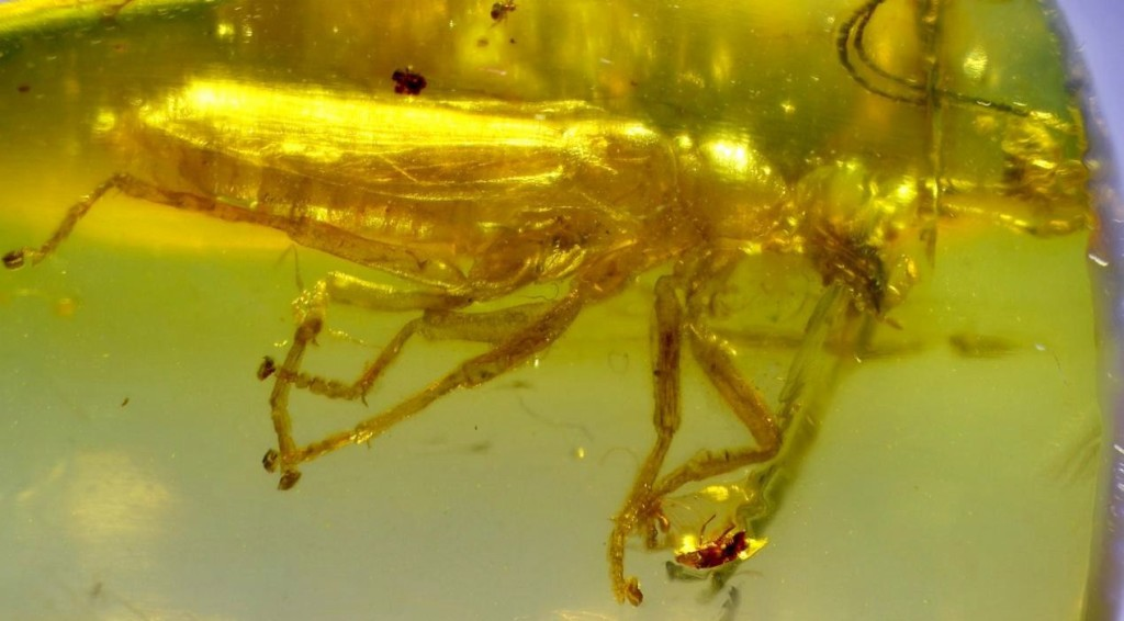 Alienopterus brachyelytrus в бирманском янтаре возрастом 99 млн лет. Фото: Bai et al., 2016.