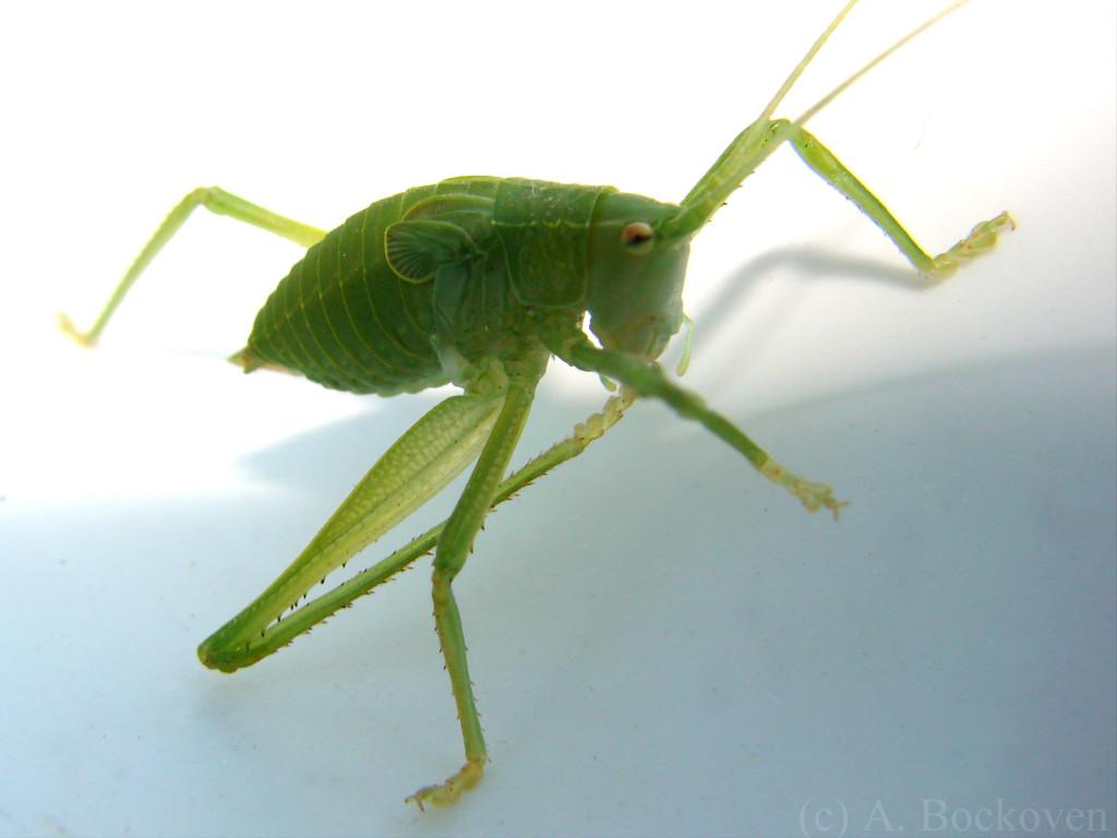tettigoniidae_katydid_nymph_grooming