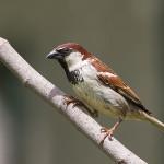 Трудности гибридогенного видообразования у птиц: как с ними справился итальянский воробей?