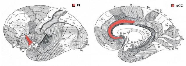 изображены зоны мозга человека, где находятся VEN. а) латеральная проекция мозга, фронто-инсулярная кора (fronto-insular cortex FI) показана красным. б) медиальная проекция мозга, передняя поясная извилина (anterior cingulate cortex, АСС) показана красным
