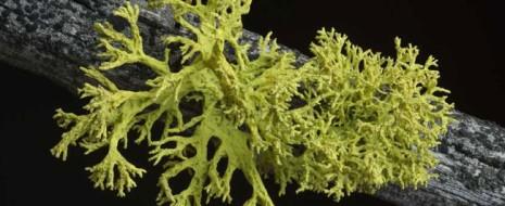 К настоящему времени в лихенологии сложились четкие представления о лишайниках как о двучастных системах из микобионта (гриб одного определенного вида) и фотобионтов (водоросли или цианобактерии одного вида либо одновременно и водоросли, и цианобактерии, но не два...