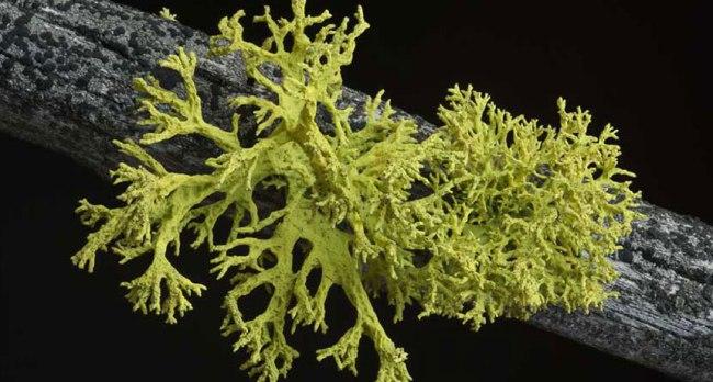 Letharia vulpina – один из лишайников, которые вынуждают ученых выбросить на свалку все монографии по лихенологии за последние стопицот лет. Такой маленький и такой суровый. Фото: Tim Wheeler.