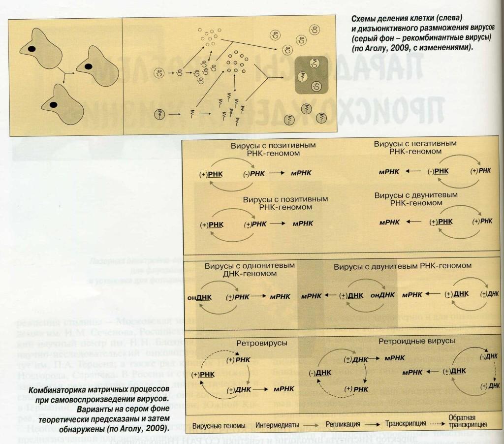 Рисунок 1. Схемы деления клетки (слева) и дизъюнктивного размножения вирусов (серый фон - рекомбинантные вирусы) (по Аголу, 2009, с изменениями).