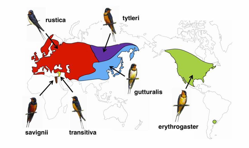 Ареал и подвидовая дифференциация деревенской ласточки. Источник