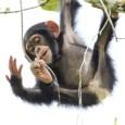 Анализ имеющихся сходств  позволяет заключить, что «телесно» (или «биологически») наш предок был больше всего похож на бонобо, включая этологию, структуру сообщества и пр. Единственные же...