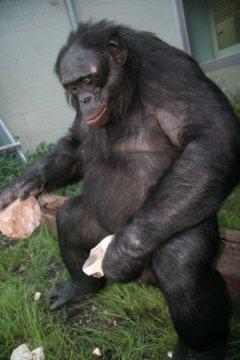 Бонобо, впервые изготавливающий дротик, дальше используемый в социальных взаимодействиях для атаки или защиты.