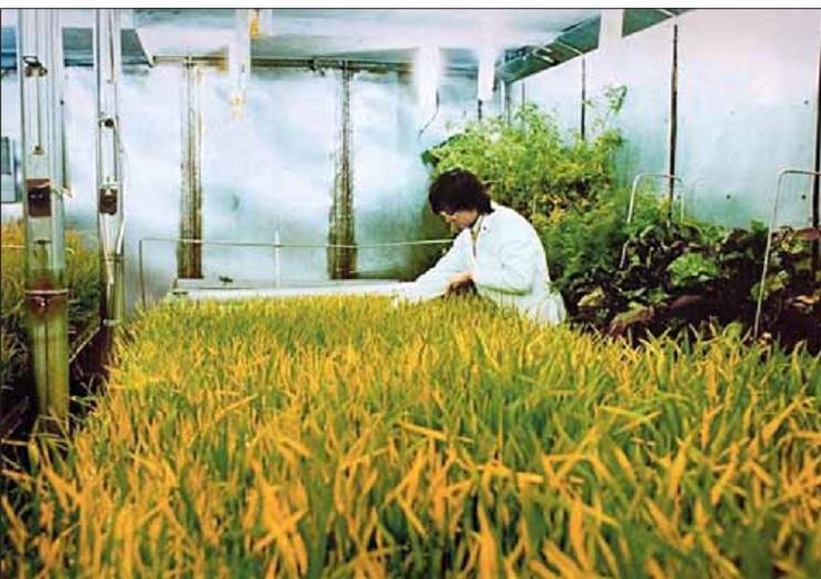 Общий вид фототрофного звена – источника белков, жиров и углеводов для человека в БИОС-3. На переднем плане ценозы пшеницы.