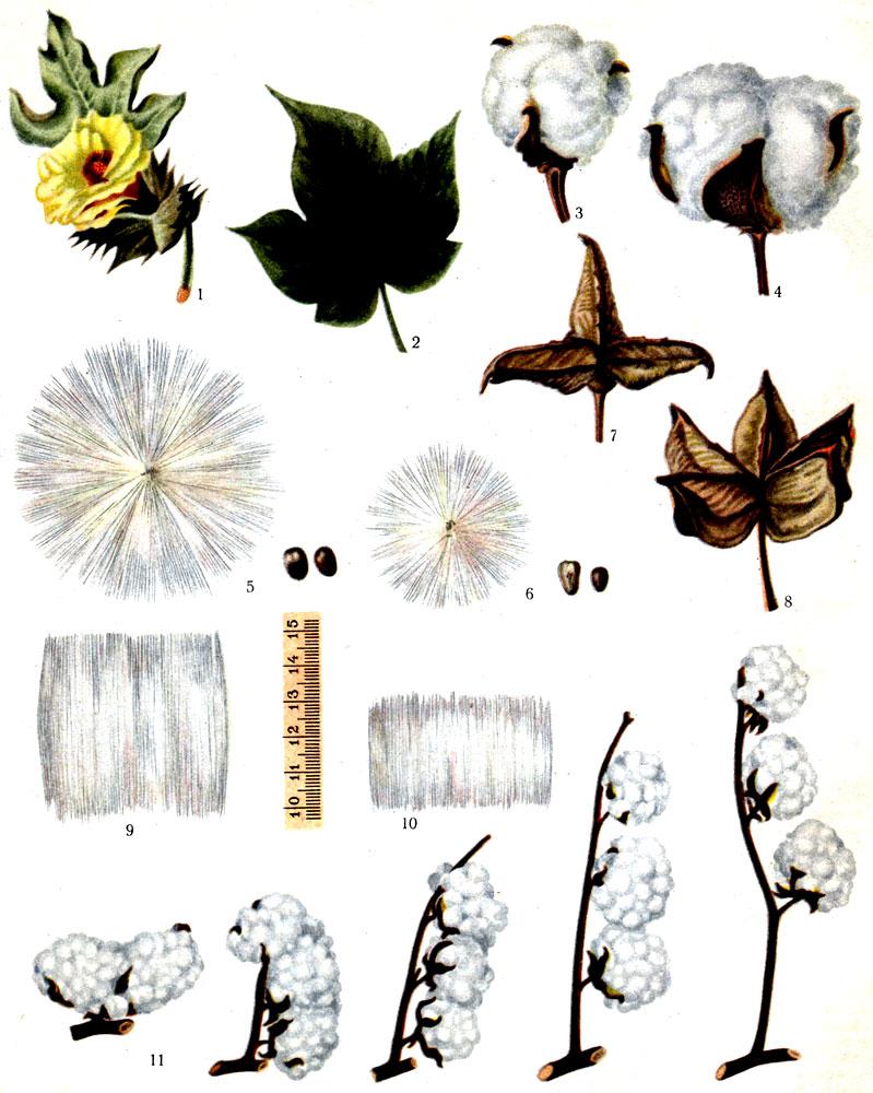 Таблица I. 1 - цветок; 2 - лист; 3 - раскрывшаяся коробочка советского длинноволокнистого хлопчатника; 4 - раскрывшаяся коробочка советского хлопчатника; 5 - расправленная летучка и семена советского длинноволокнистого хлопчатника; 6 - расправленная летучка и семена советского хлопчатника; 7 - створка коробочки советского длинноволокнистого хлопчатника; 8 - створка коробочки советского хлопчатника; 9 - волокно советского длинноволокнистого хлопчатника; 10 - волокно советского хлопчатника; 11 - типы ветвления хлопчатника. Источник
