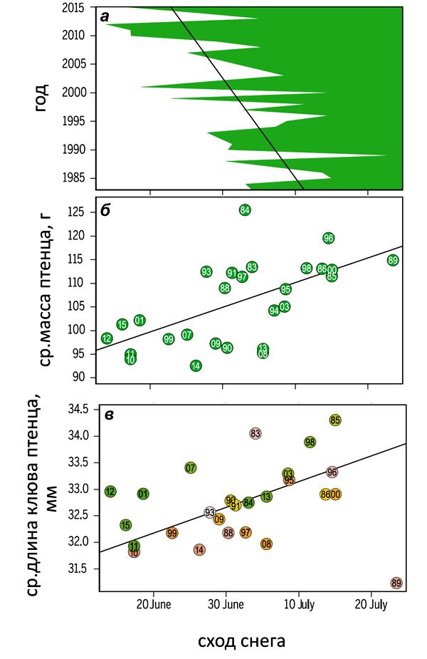 Рисунок 4. Изменения в размерах исландского песочника можно приписать глобальному потеплению. а — Последние 33 года дата схода снега на Таймыре сдвигалась на 0,5 дня/год. б — Чем раньше тает снег, тем меньше вес птенцов (точка — средний вес птенца, цифра в точке — год). в — Чем раньше тает снег, тем короче клюв у птенцов. Рисунок из [11].