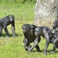 Нахоко Токуяма и Такеши Фуруичи показали, каким образом в сообществах бонобо складывается доминирование самок, если самцы крупнее и сильнее. Тут важно поведение самки-матриарха (big mama), направленно поддерживающей самок моложе если вдруг у них стычка с самцом.
