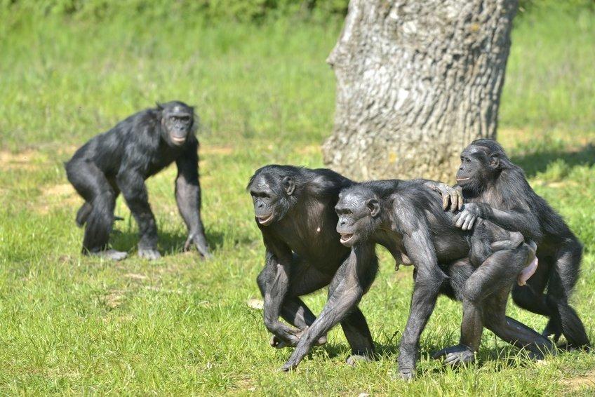 Карликовые шимпанзе