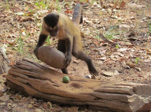 Чернополосый капуцин раскалывает камнем кокос