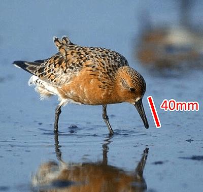 Исландский песочник (Calidris canutus) в брачном оперении. Клюв этих птиц укорачивается при потеплении климата, что ведет к проблемам с питанием. Рисунок из «Википедии», с изменениями.