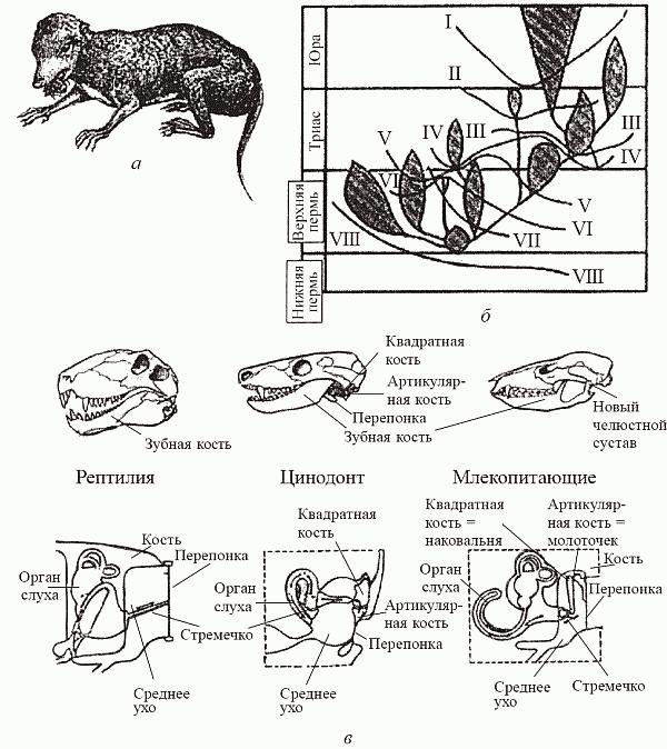 """Происхождение млекопитающих: """"маммализация териодонтов"""". (а) - Megazostrodon, древнейшее из известных млекопитающих из верхнего триаса; (б) - схема филогенеза по Татаринову (1976), демонстрирующая очередность приобретения маммальных признаков в различных филогенетических линиях тероморфов: I - звукопроводящий аппарат из трех слуховых косточек, II - вторичное челюстное сочленение между зубной и чешуйчатой костями, III - зачаточная барабанная перепонка в вырезке угловой кости. IV - мягкие, снабженые собственной мускулатурой губы, V - сенсорная зона на верхней губе (протовибриссы), VI - расширенные большие полушария головного мозга, VII - трехбугорчатые заклыковые зубы, VIII - верхние обонятельные раковины; (в) - эволюция челюстных структур и среднего уха (иллюстрирующая предыдущую схему). http://scisne.net/a-303?pg=16"""