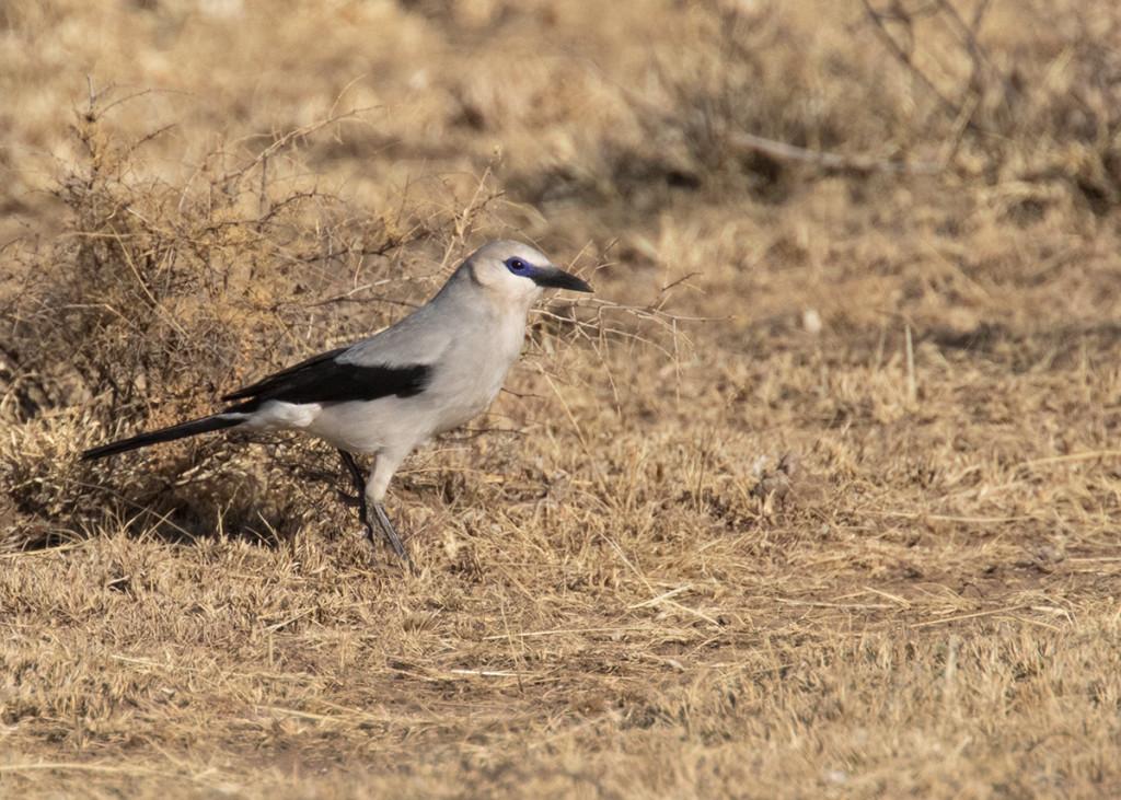 Африканский кустарниковый ворон Zavattiornis stresemannii