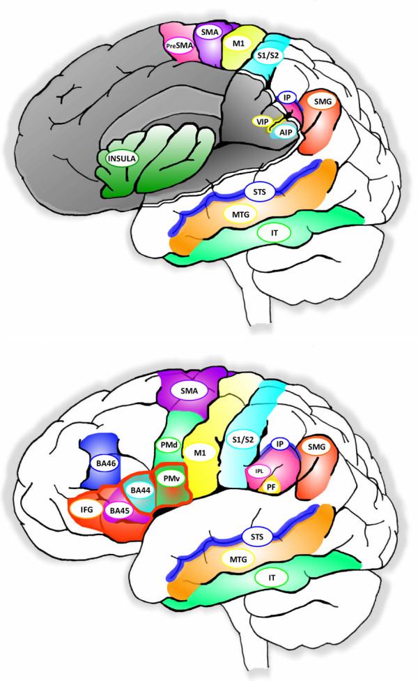Зоны головного мозга, включающие системы зеркальных нейронов. Источник