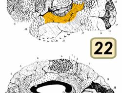 Моторной коре ранее отводилась исполнительная, но не когнитивная роль. Недавно были открыты sensorimotor neurons, активные как при действиях, так и при восприятии. Зона F5 мартышек содержит mirror...