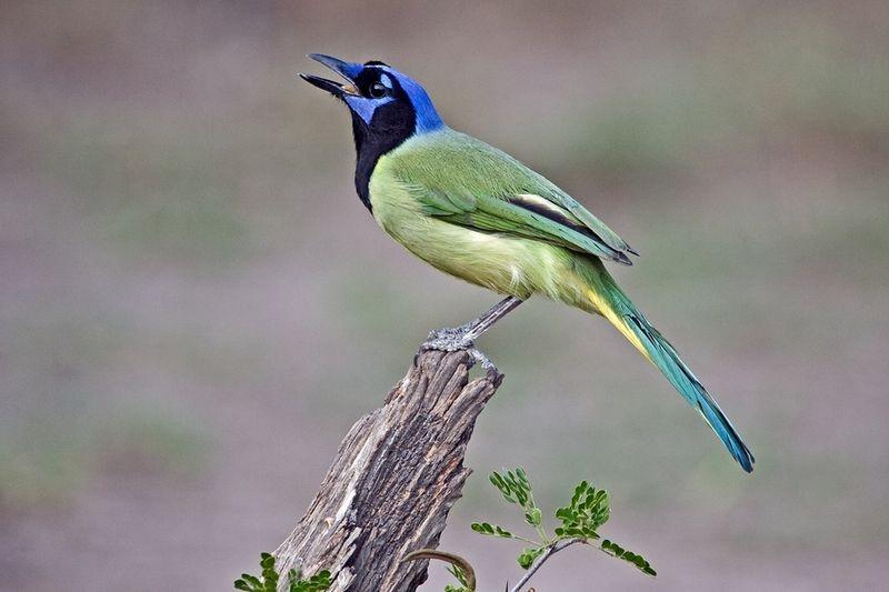 Перуанская разноцветная сойка Cyanocorax yuncas
