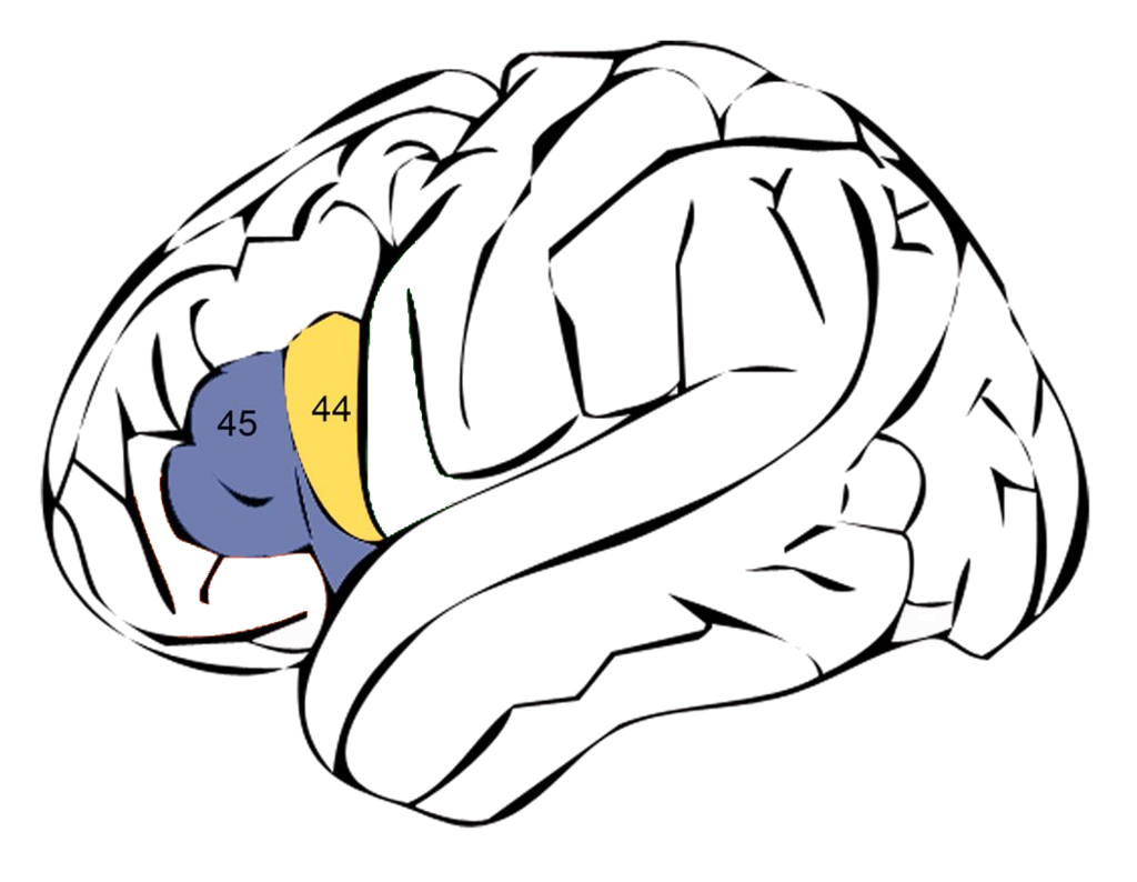 Левая зона Брока, включая поля 43 (фиолетовый) и 44 по Бродману (жёлтый)