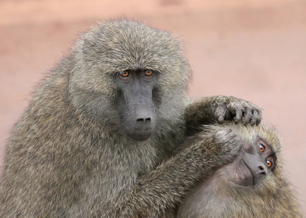 Взрослый анубис грумингует молодого, парк Нгоронгоро, Танзания