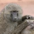 Известны сообщения о передаче культуры среди других, кроме человека, приматов. Мы исследовали это явление в стае павианов саванны, которая изучалась с 1978 года. В середине 1980-х половина самцов стаи умерла от туберкулёза; в связи с обстоятельствами эпидемии...