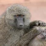 Миролюбивая культура среди диких павианов: её возникновение и передача