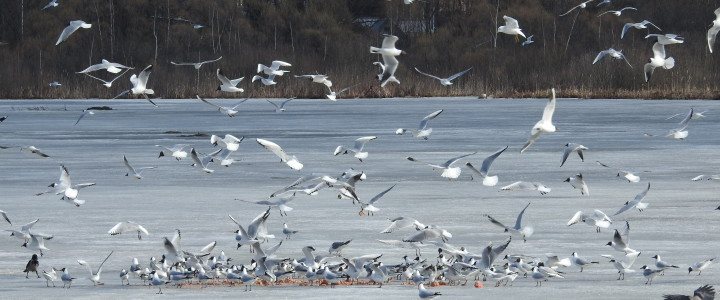 Желание восстановить колонию на озере Киево все эти годы присутствовало у местного населения г. Лобни. Однако, только к 2010 г. были созданы реальные предпосылки для этого. Во-первых,...