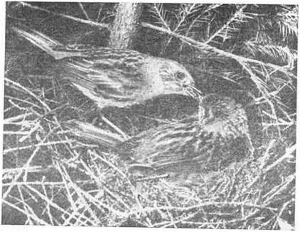 Рис. 1. Самец лесной завирушки кормит самку. Фото Ф. Штейнбаха