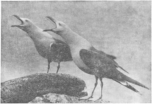 Рис. 2. Серебристые чайки. Фото Ю. Артюхина