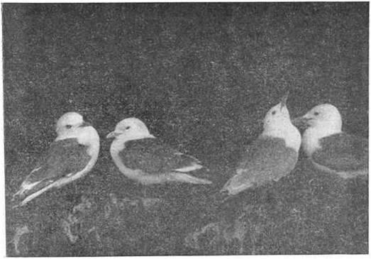 Рис. 3. Обыкновенные моевки на гнездах. Фото С. Миронова