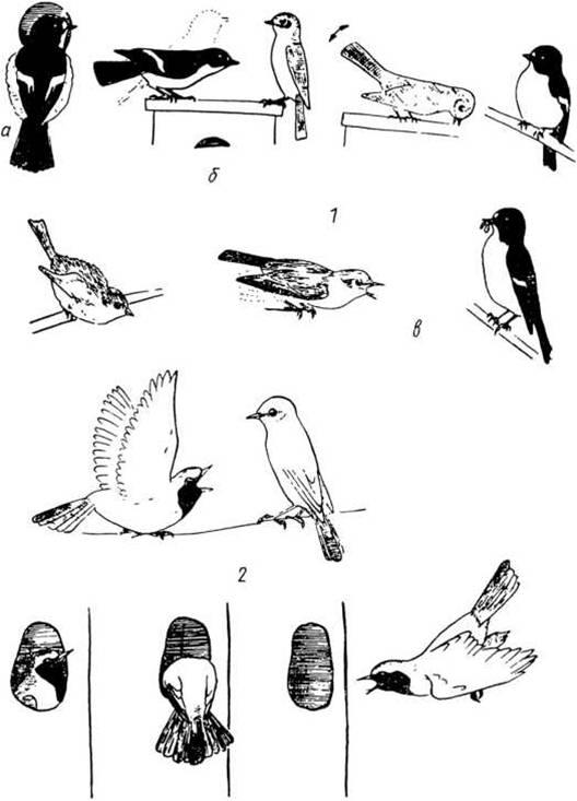 Рис. 4. Некоторые позы демонстративного поведения птиц в брачный период 1 — Мухоловка-пеструшка: а) самец, вцепившись в леток гнездовья, показывает самке свое дупло; б) самка подлетает к синичнику для осмотра дупла; в) самка просит у самца корм; 2 — самец горихвостки разными способами показывает самке свое гнездовье (Blume, 1973)